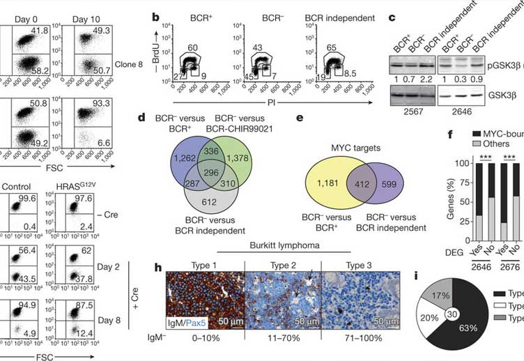 BCR-independent lymphomas potentiate GSK3β phosphorylation and MYC-controlled gene expression