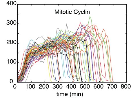 Single cell dynamics of mitotic cyclin in adapting yeast cells